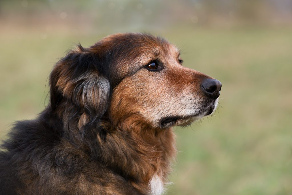 Portrait of an old dog, brown fur, outdoor
