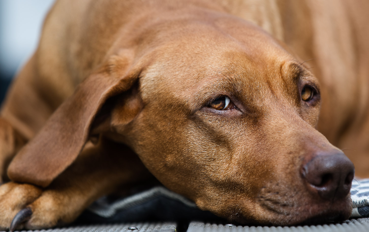 Portrait of a Rhodesian Ridgeback, laying down, looking at camera, outdoor