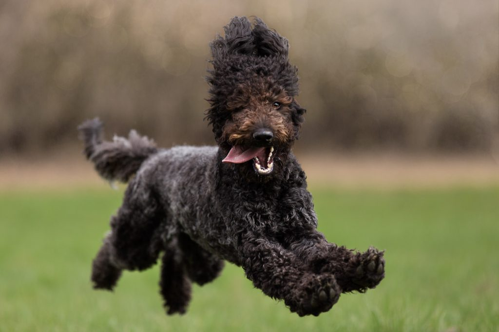 Portrait of a brown, jumping Labradoodle
