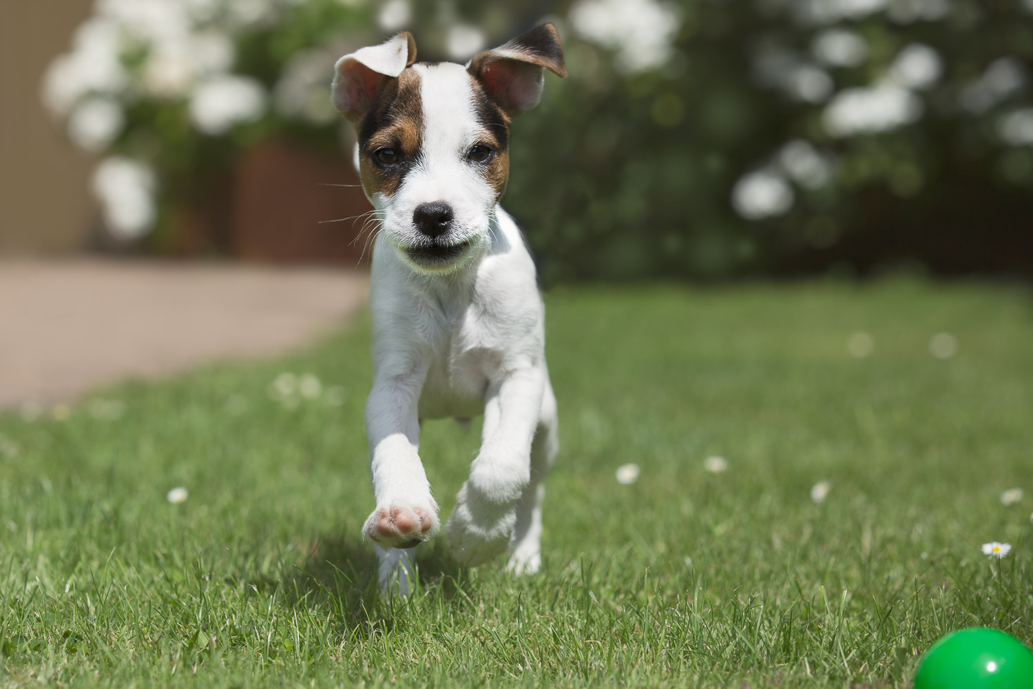 Portrait of a Jack Parson Russel Terrier Puppy, running on grass