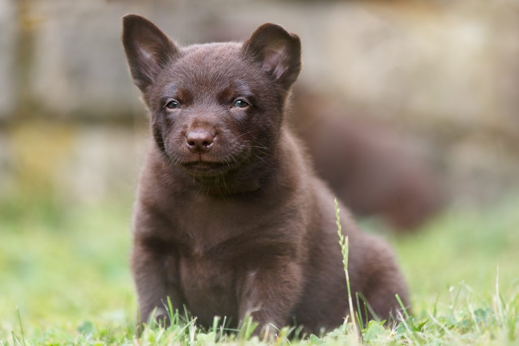Portrait of an Australian Kelpie puppy, looking at camera, outdoor