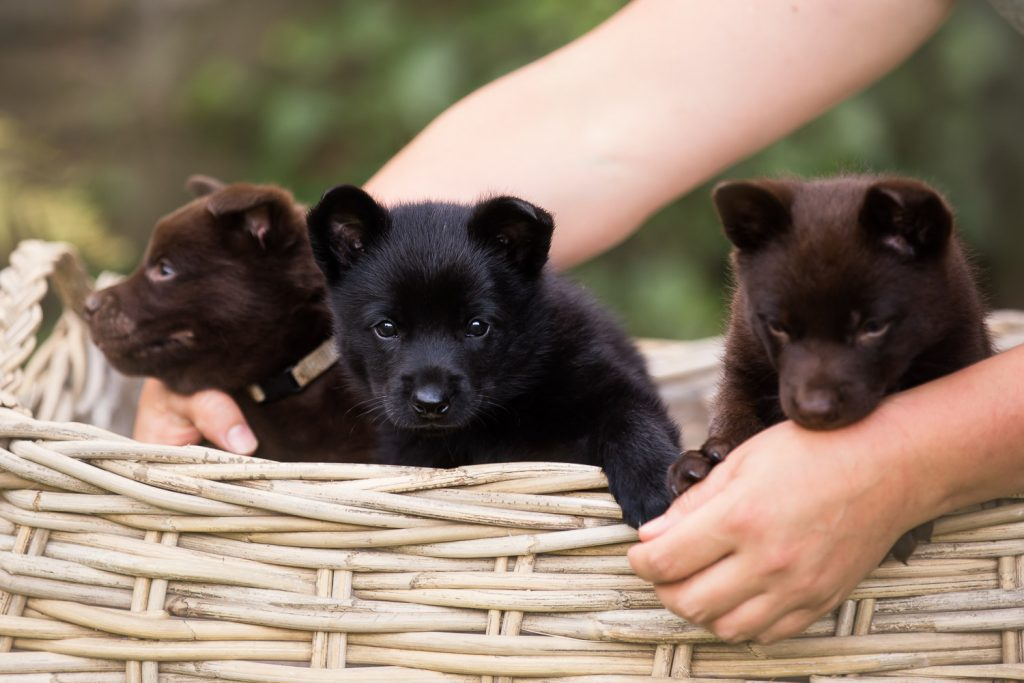 Three Australian Kelpie Puppys sitting in a basket