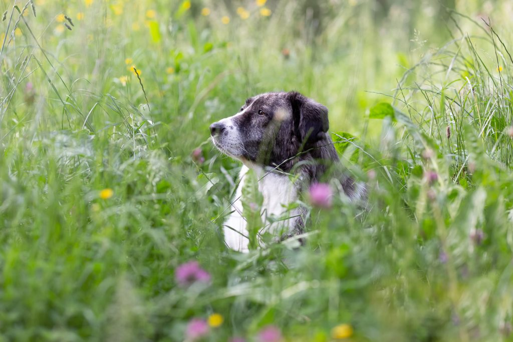 old dog laying in high grass, Andrea Schenke Photography, Wittlich